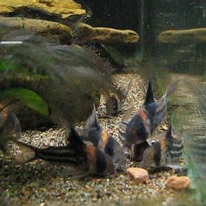 Corydoras parallelus