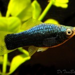 Black Swordtail Female