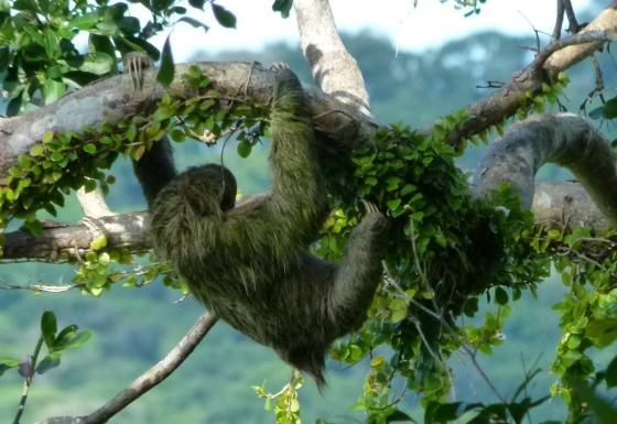 sierpe-sloth