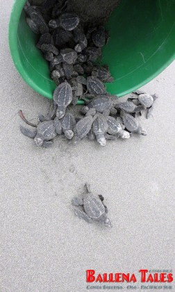 9-Release-of-the-turtles-at-Playa-Tortuga-by-Nikki-Whelan