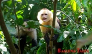 Sierpe de Osa, Pacifico Sur de Costa Rica, Whiteheaded Monkey - Sierpe - Costa Rica - Photo by Dagmar