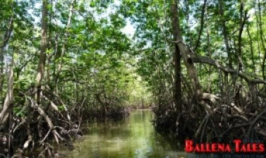 sierpe-mangroves6