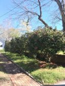 Ballentine-Spence House Spring 2017 - camellia bushes