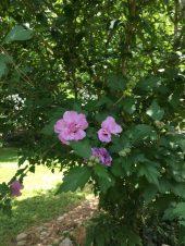 Rose of Sharon tree in full bloom