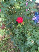 Summer roses at the Ballentine-Spence House