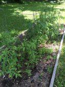 Summer vegetable garden at the Ballentine-Spence House