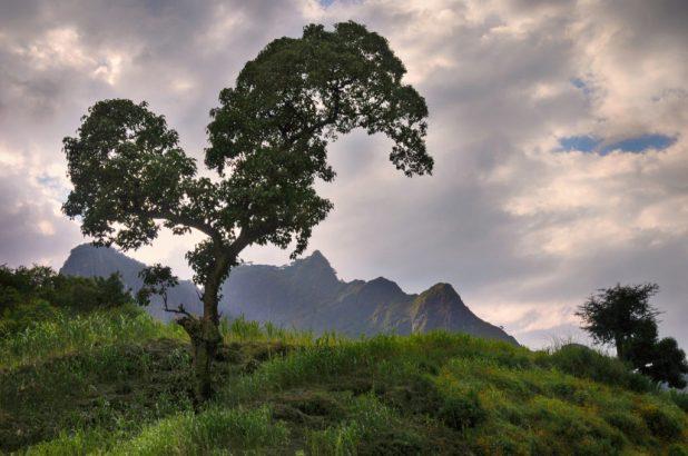 Ethiopia Trees