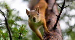 Squirrel Bubonic Plague