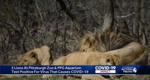 Two Lions At The Pittsburgh Zoo Tested Positive For COVID-19
