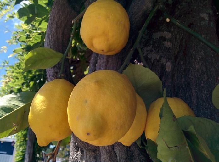 Honig steigert die Leistungsfähigkeit Zitronenbaum