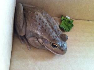 Western Green Tree Frog (s)
