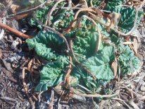 Another Rhubarb Plant 4