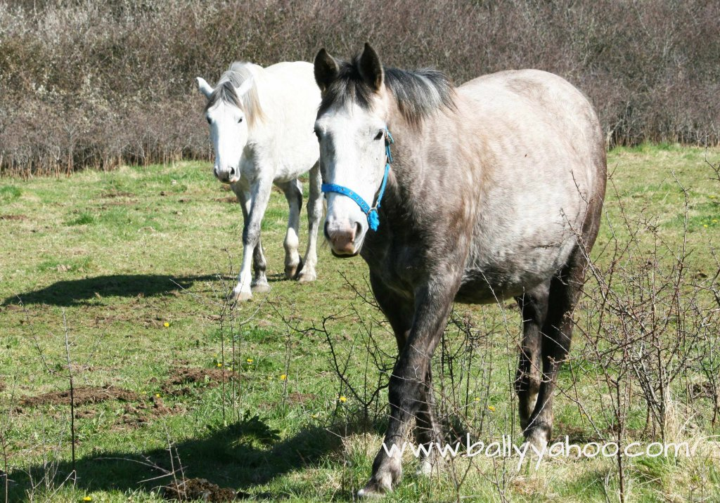 two horses walking illustrating childrens stories website from the fictitious town of Ballyyahoo in Ireland
