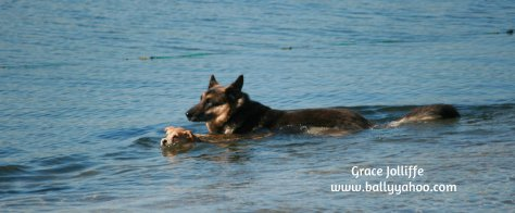 german-shepherd-puppy-swimming