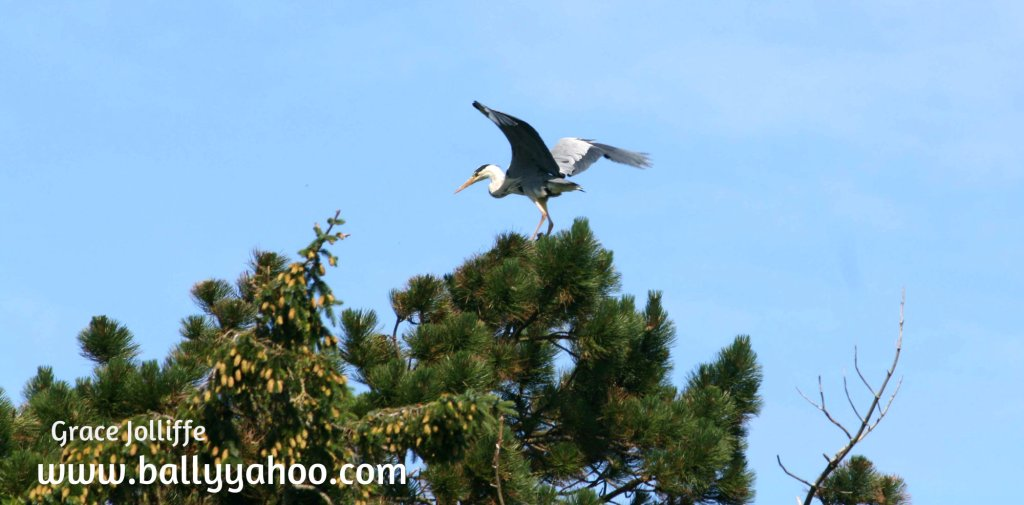 heron on top of a tree poised about to fly illustrating a children's nature story page about herons