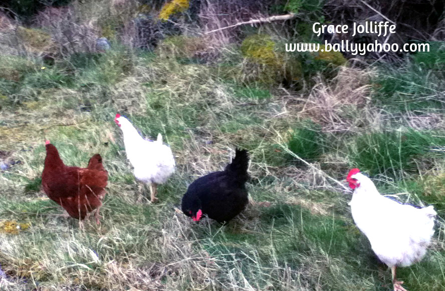 four free range hens illustrating a children's nature story from Ireland's magical town of Ballyyahoo