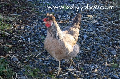 brown hen walking illustrating a children's nature story from Ireland's magical town of Ballyyahoo
