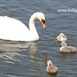 Swan and three signets illustrating children's nature story page about wild swans