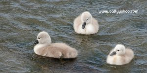 three fluffy signets illustrating children's nature story page about wild swans