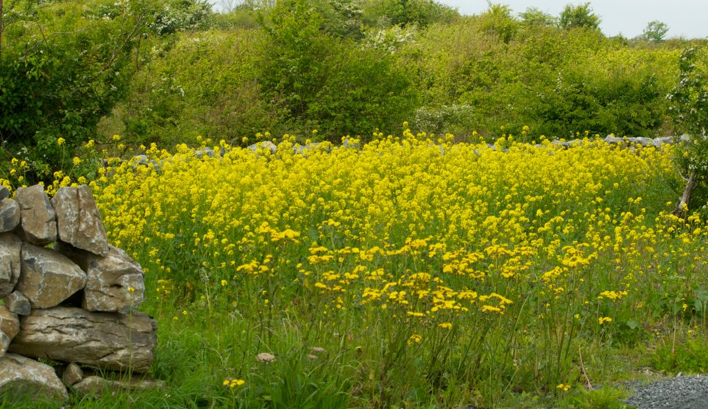 field of yellow ragwort illustrating a children's story from Ballyyahoo in Ireland