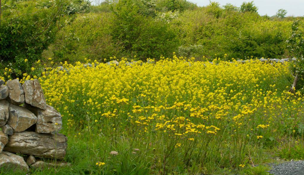 field of yellow ragwort illustrating a children's story from Ballyyahoo in Ireland