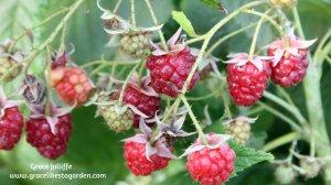 raspberries illustrating an article about Irish birds