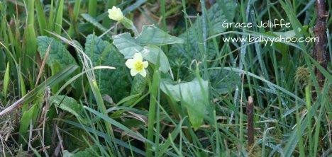 primroses coming into bloom - nature and stories for children