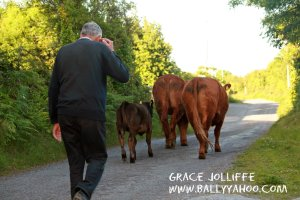farmer walking cows past hedgerows - illustrating a story about hedgerows for children
