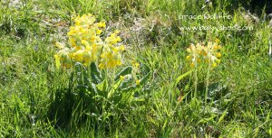 Cowslips illustrating a children's story about nature