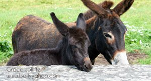 two young donkeys illustrating children's stories from Ballyyahoo