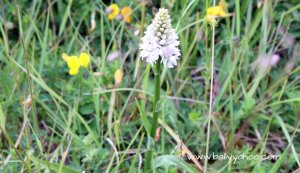 orchid in field illustrating a book called The Lost Words By Robert MacFarlane and Jackie Morris