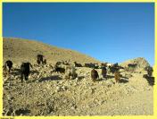 herd of goat