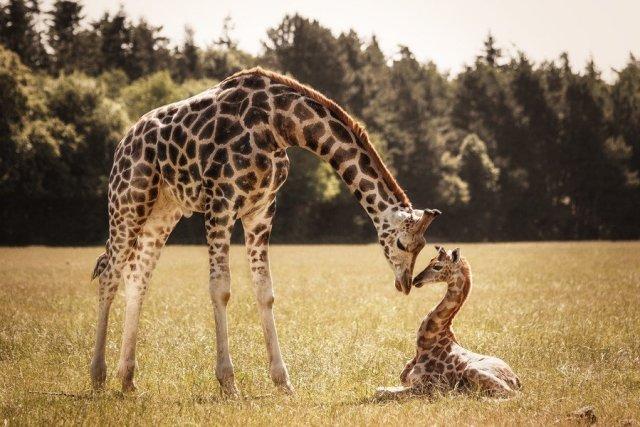 1-Giraffen-by-Nadine-Volz-on-500px