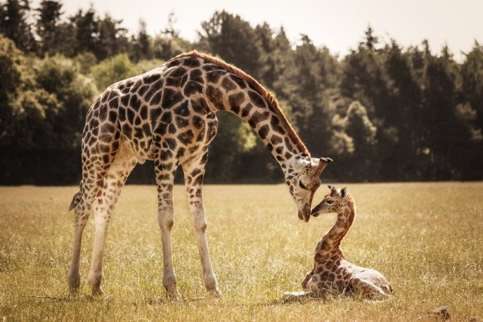 1-Giraffen-by-Nadine-Volz-on-500px