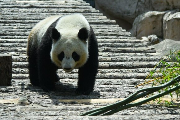 Самец панды Жуи в Московском зоопарке начал проявлять интерес к Диндин