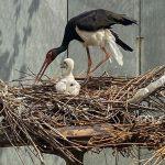 Семейство черных аистов в зоопарке обзавелось потомством