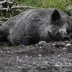Латвия будет платить жителям за обнаружение мертвых кабанов