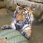 Гостящий в итальянском зоопарке тигр Боцман вновь стал отцом