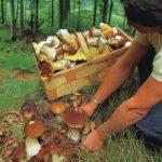 Почему так дорого? Особенности грибной охоты по-латвийски