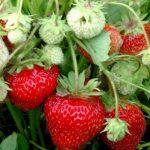 Клубничная катастрофа: в Латвии погибнет часть урожая поздней клубники