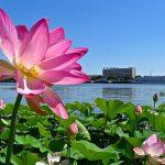 Сезон цветения лотосов начался в Астраханской области