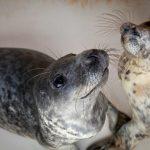 В понедельник для клайпедских тюленят-найдёнышей начнётся новая жизнь