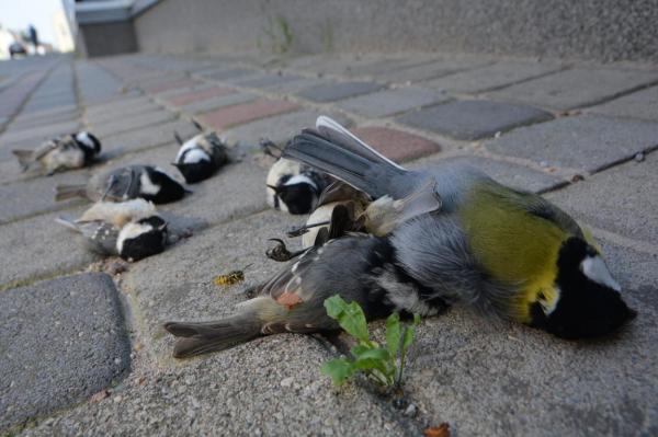 Снова массово гибнут птицы, разбиваясь о стеклянный фасад