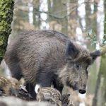 Впервые за полтора года в Эстонии обнаружили кабана с АЧС