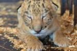 В Московском зоопарке родились четыре детеныша амурского тигра
