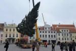 В четверг на Ратушной площади установят новогоднюю ель