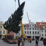 Продолжаются поиски рождественской ели для установки на Ратушной площади