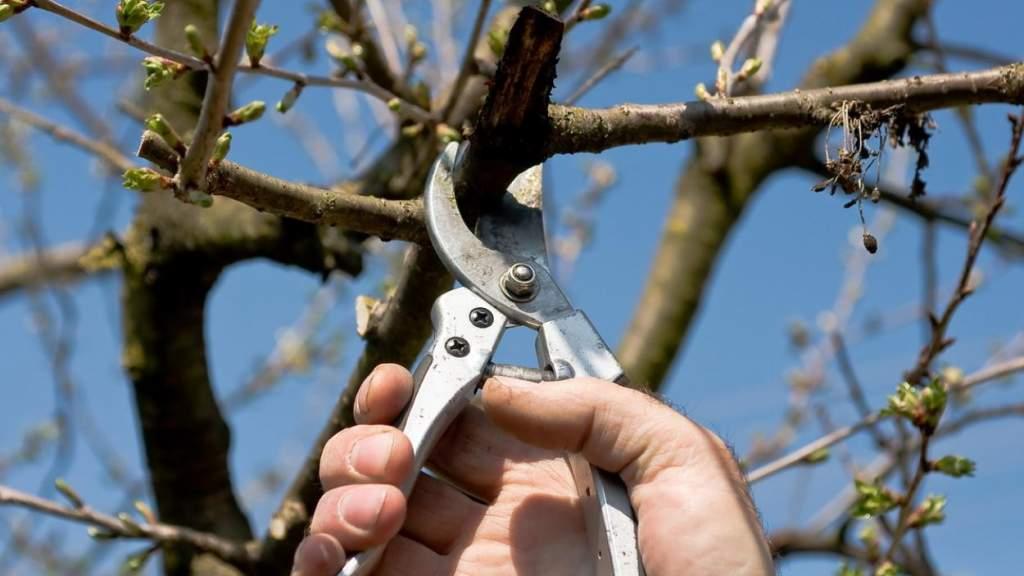 Наша консультация: Можно ли «постричь» соседские деревья?