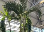 В столице Эстонии будет установлена гигантская рождественская пальма