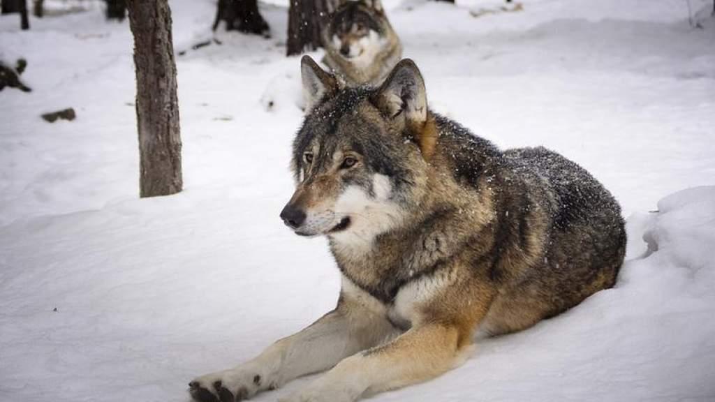 С начала сезона охоты на волков охотники отстреляли 13 особей